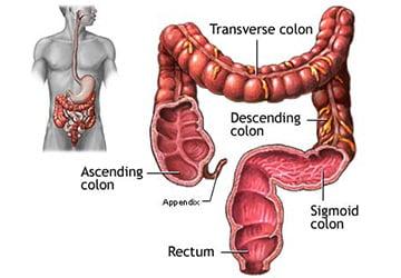 кишечник человека в картинках